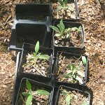 Reuse Pots/Cell Packs from Purchased Annuals/vegetables