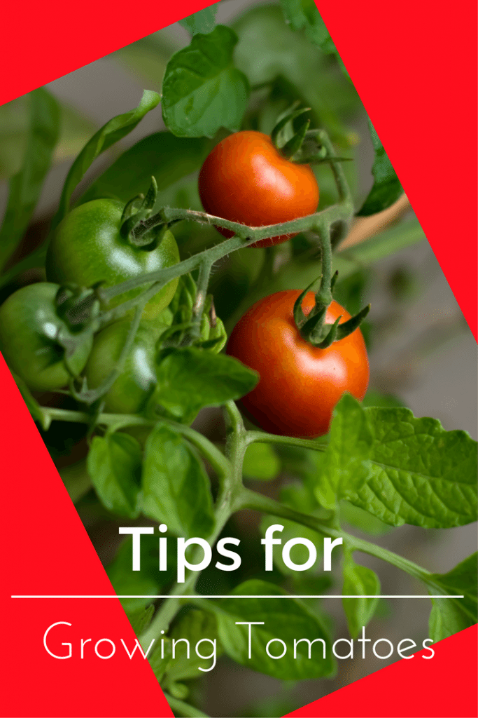 Must See Tips for Growing Tomatoes