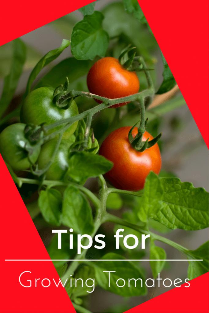Small Fruited Varieties  Heirloom Tomato Plants