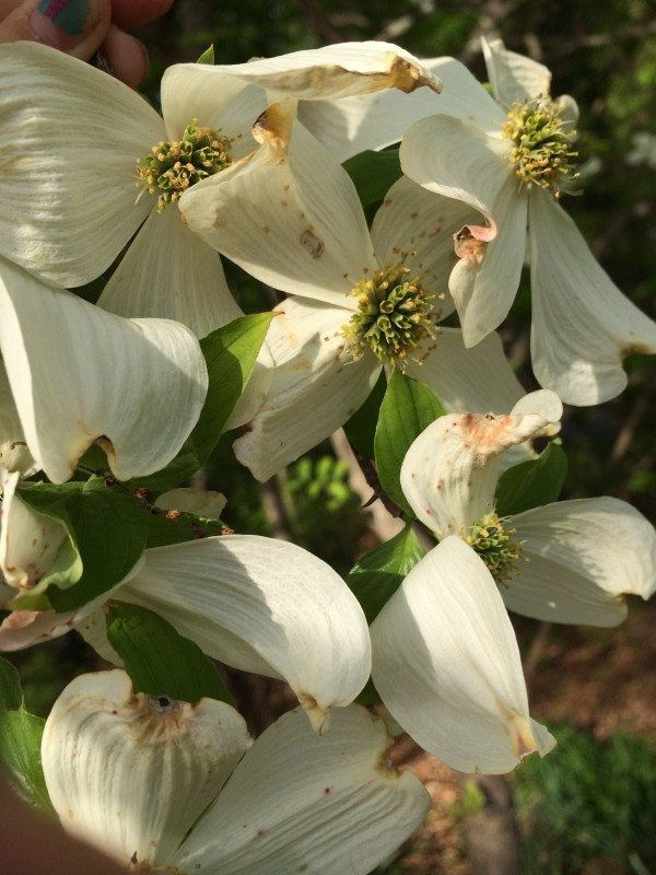 dogwood-flowers spring flowers of Virginia