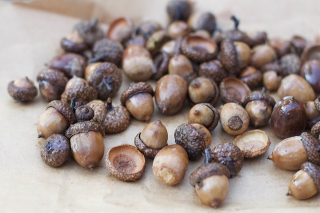 how to dry acorns