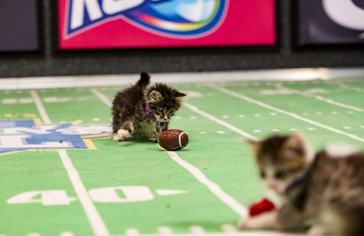 Calling Cat Lovers to Watch the Kitten Bowl #kittenbowl