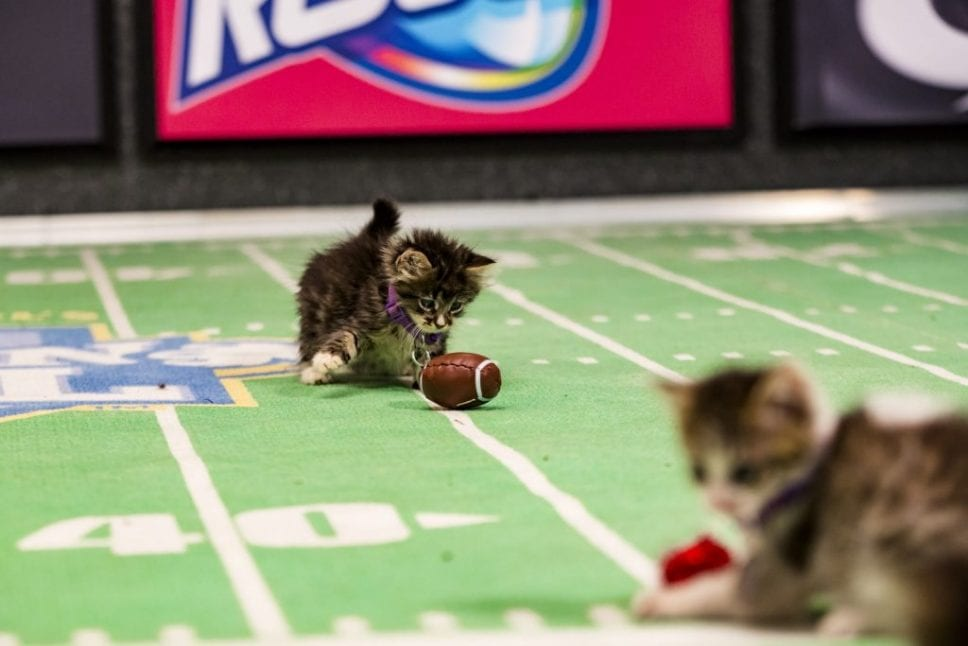 """Kitten Bowl"" is a feline catstravaganza presented in association with North Shore Animal League America (the nation's largest no-kill shelter and animal adoption organization) and Last Hope Animal Rescue and Rehabilitation. Hosted by Beth Stern, TV personality and national spokesperson for North Shore Animal League America, ""Kitten Bowl"" is a star-studded lineup that includes legendary New York Yankees radio voice John Sterling and award-winning reporter, sports analyst and commentator Mary Carillo as ""Kitten Bowl's"" official play-by-play announcer, and Boomer Esiason as the Feline Football League's (FFL) Commissioner. Photo: Credit: Copyright 2015 Crown Media United States, LLC/Photographer: Marc Lemoine"