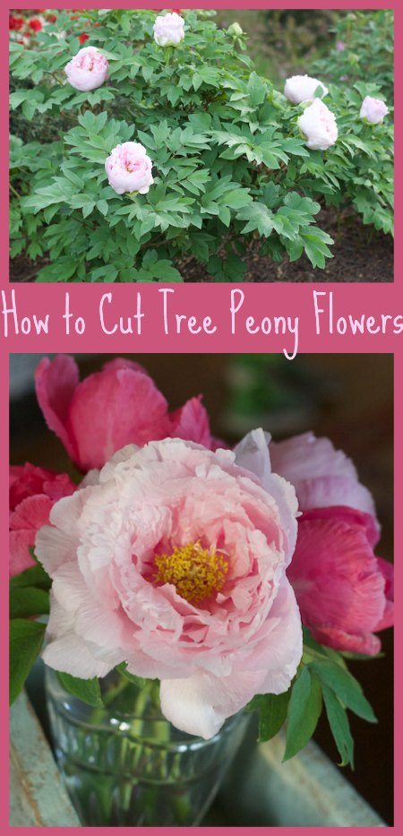How to Properly Cut Peony Flowers to Bring Indoors