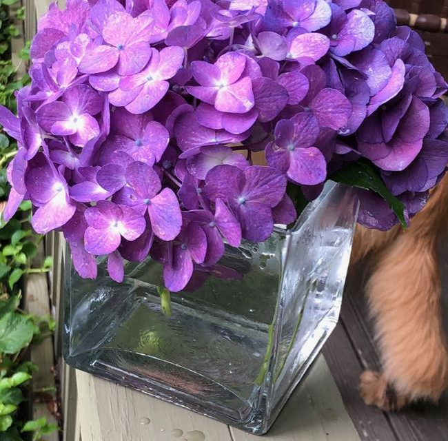 How to Cut Hydrangea Blooms & Keep From Wilting