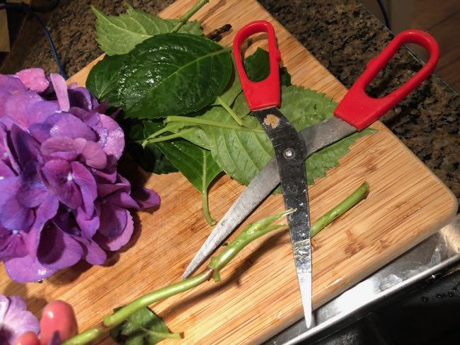 How to Cut Hydrangea Blooms